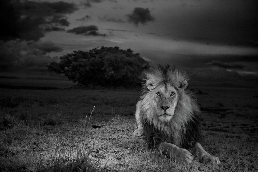"For our two-year lion project, we centered our work around the females of the Vumbi (""dust"" in Swahili) pride, raising cubs in the difficult feast and famine of the Serengeti plains.  We also focused on this black-maned male, one of two resident coalition males.  The researchers called him C-Boy.  Image made with invisible infrared light.  Serengeti National Park, Tanzania, 2012."
