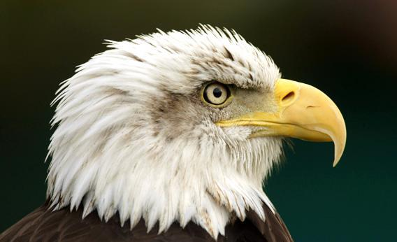 A Bald Eagle is seen at Cabarceno nature reserve.