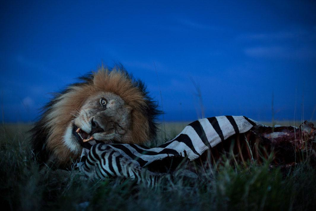 Resident coalition male C-Boy guarded this zebra killed by the Vumbi pride for a whole day.  He only began to eat at dusk.  Later that night he was seen dragging the carcass toward a defensible rock outcropping with thirteen hungry lions and twenty hyena trailing him.Image made with robot tank .  Serengeti National Park, Tanzania, 2012.
