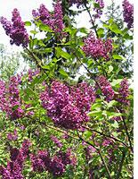 Lilac bush. Click image to expand.