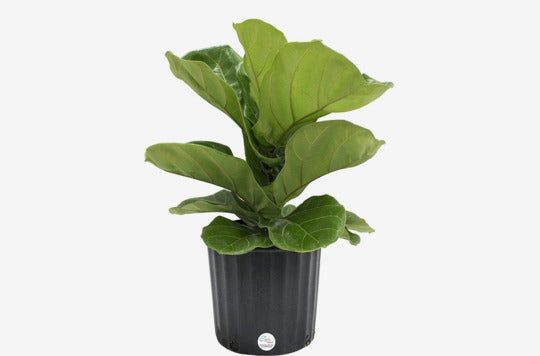 Costa Farms Ficus Pandurata Fiddle-Leaf Fig Live Indoor Floor Plant.