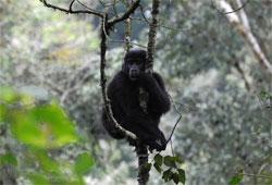 A female mountain gorilla. Click image to expand.