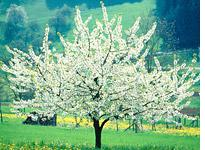 Cherry tree. Click image to expand.