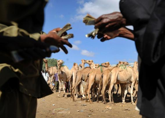 Somaliland farmers Ismael Hassan (L) and Abdi Noor Husein count money they got on October 29,2012 selling their camel at Sayladah market in Hargeisa, Somaliland.