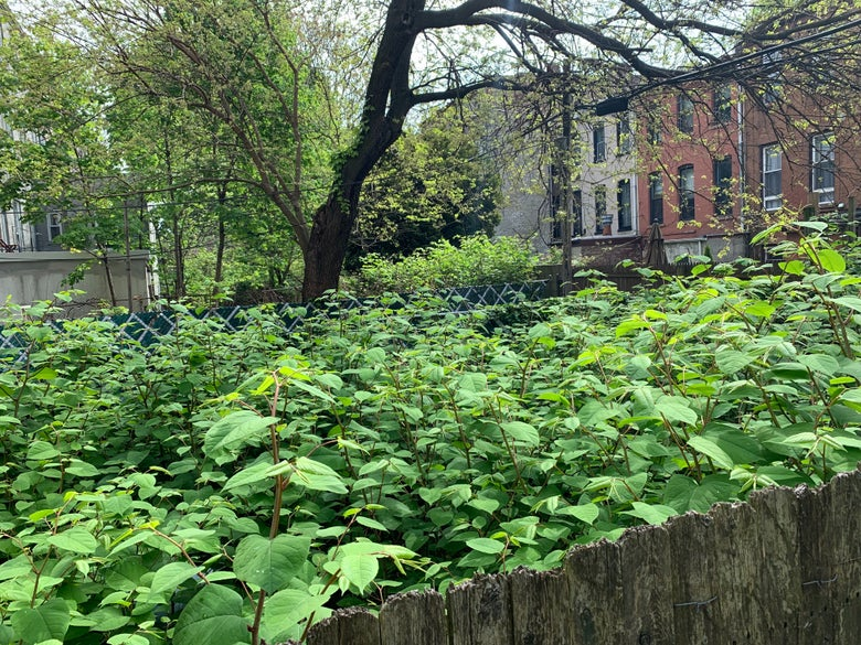 Japanese Knotweed The Invasive Plant That Just Won T Die