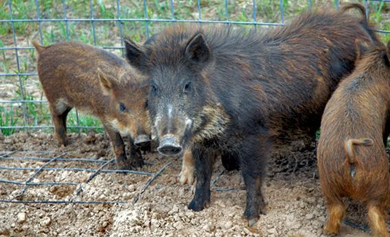 Feral swine near Feedey, Oklahoma, which were once domestic hogs, but are now wild.