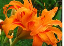 Day lily. Click image to expand.