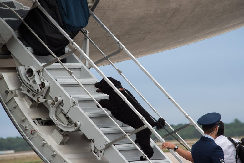 Sunny, pet dog of US President Barack Obama and his family, boards Air Force One at Cape Cod Air Force Station in Massachusetts on August 21, 2016 as the Obamas depart for Washington after a two-week holiday at nearby Martha's Vineyard.