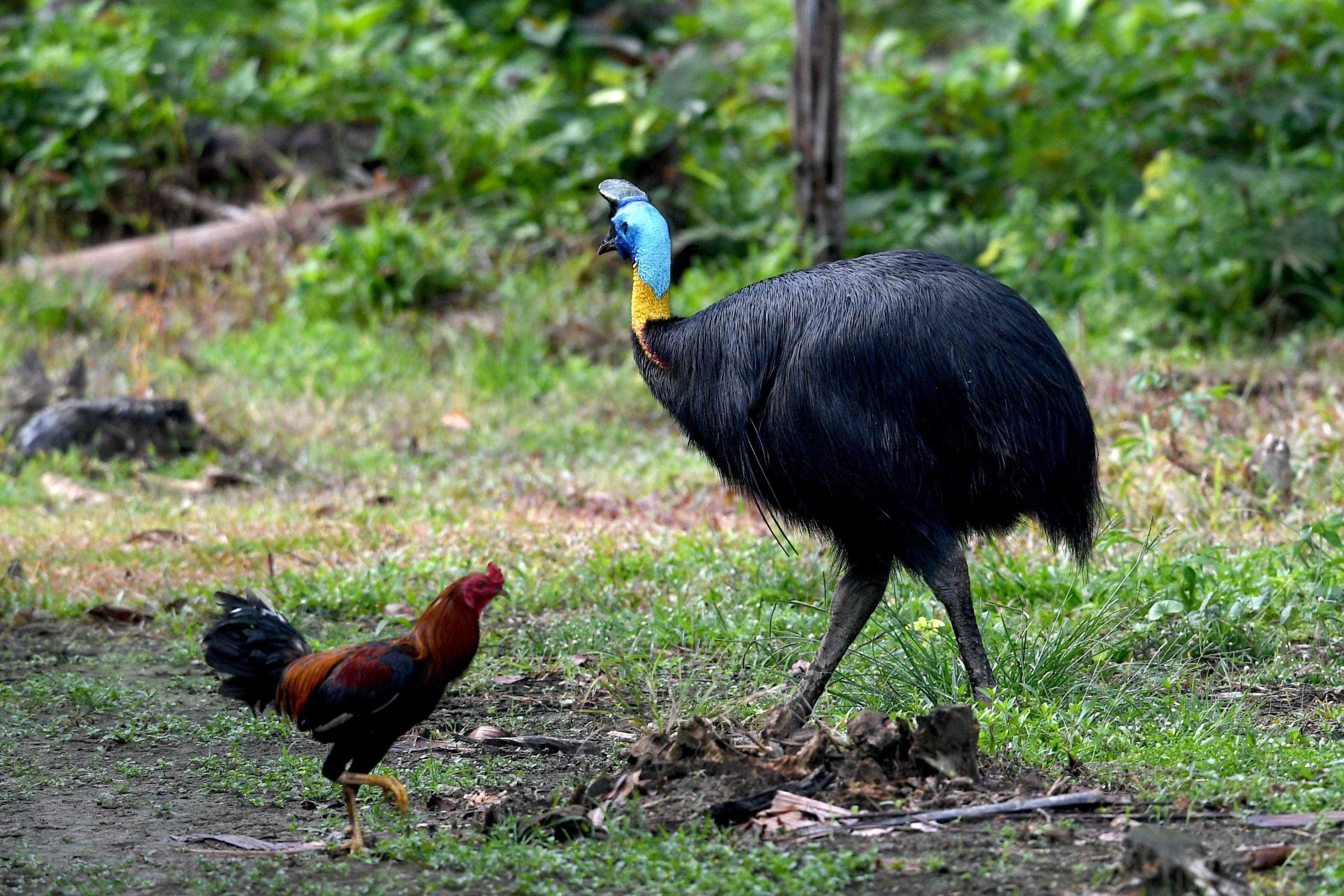 A cassowary and a chicken in a grassy area.