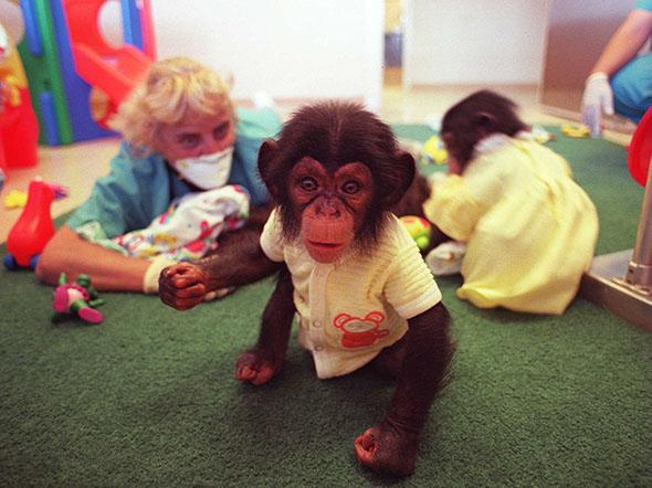 Third generation baby chimps from the original space research monkeys inside the nursery at the Coulston Research Center, New Mexico, September 1997