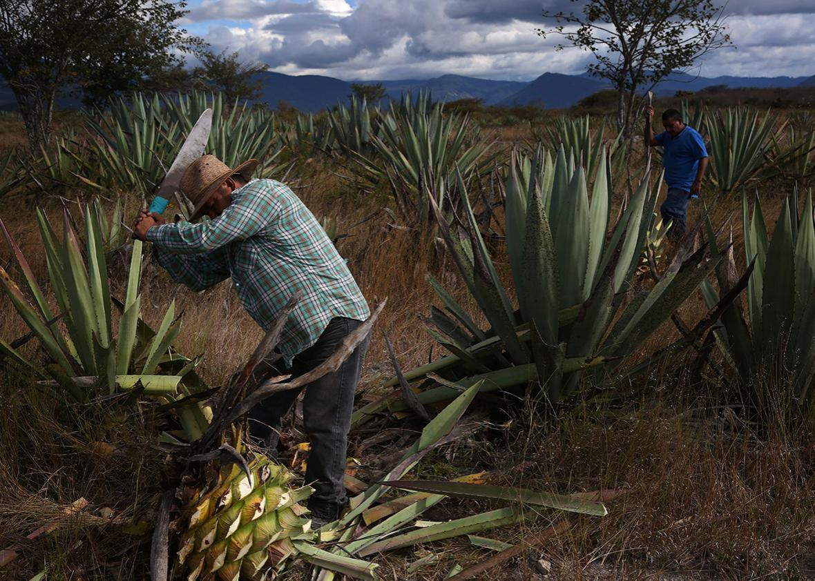 Augustin Guendulain harvests agave from his field near Mihuatlan, Oaxaca, Mexico.