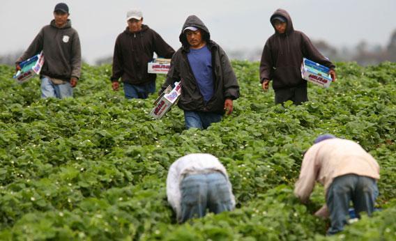 Hispanic farmworkers harvest Strawberries in Carlsbad, California.