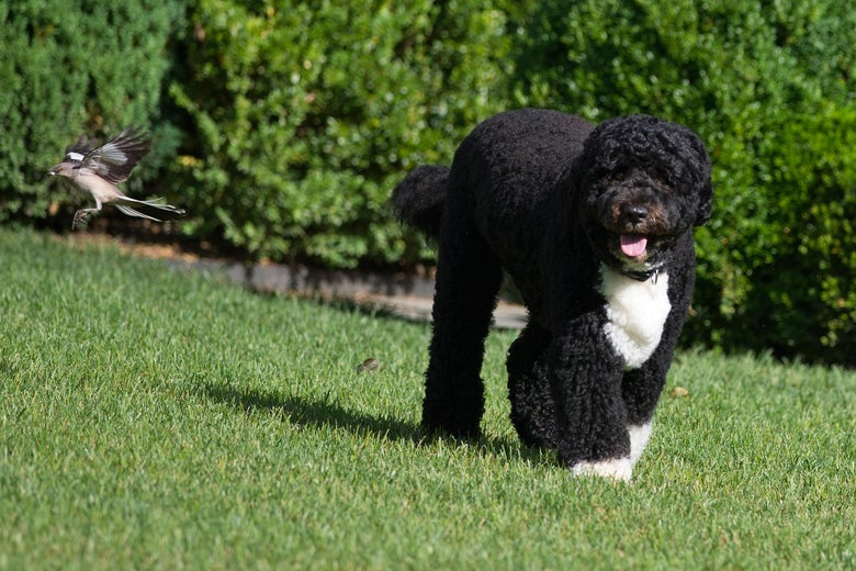 A June 6, 2012 photo shows Bo, the Obama family dog, in the Rose Garden of the White House.
