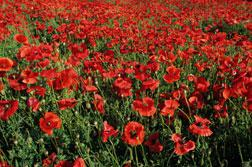 Why is Afghanistan hooked on poppies?