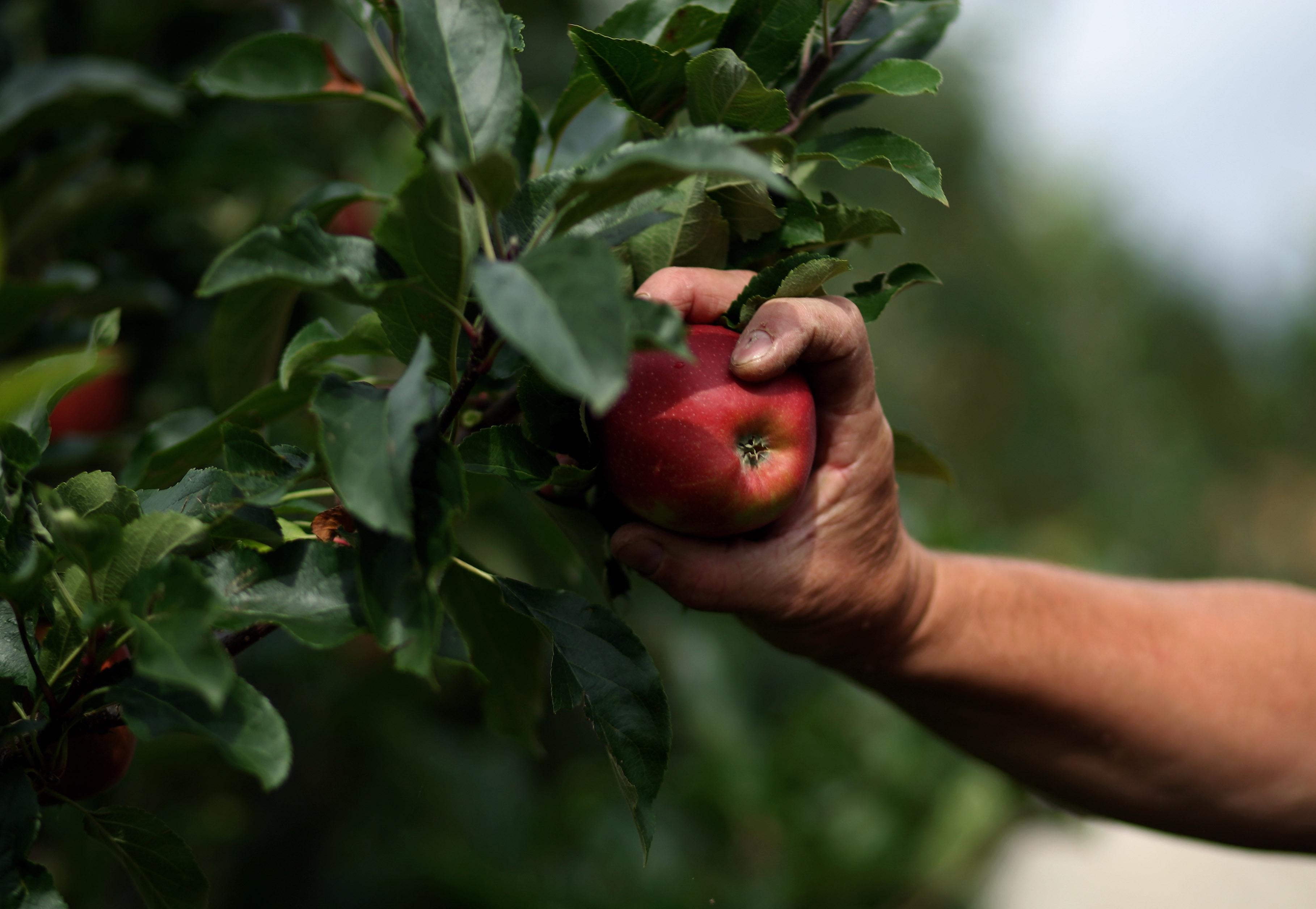 A harvester picks apples by hand.