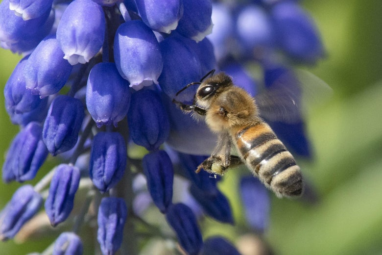 A bee lands on a large-leaved lupine (lupinus polyphillus) in the bees' garden at the Federal Horticultural Show (Bundesgartenschau) in Heilbronn, southern Germany.