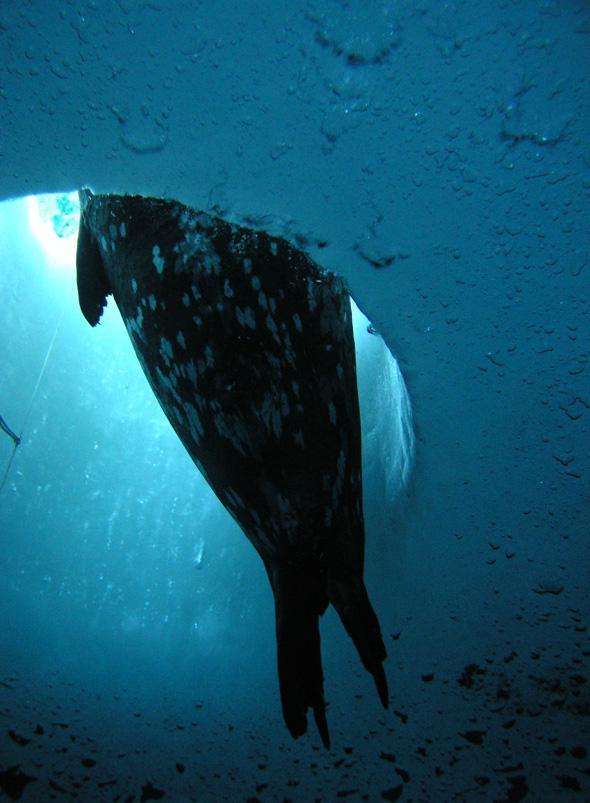 Peeking through an ice hole in the Antarctic ocean surface.