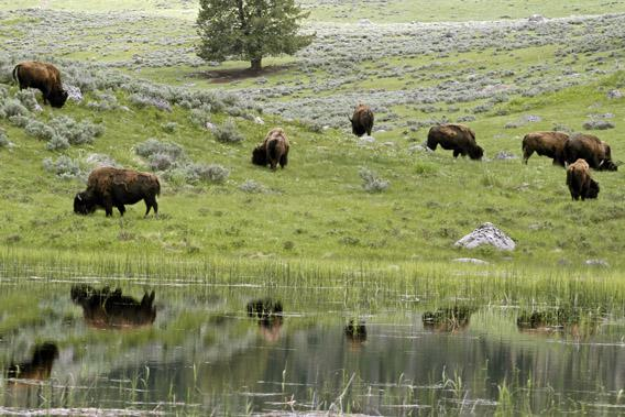 A herd of bison graze in Lamar Valley in Yellowstone National Park, Wyoming.