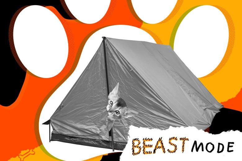 A cat peeks out nervously from a tent, biting the edge of the flap.
