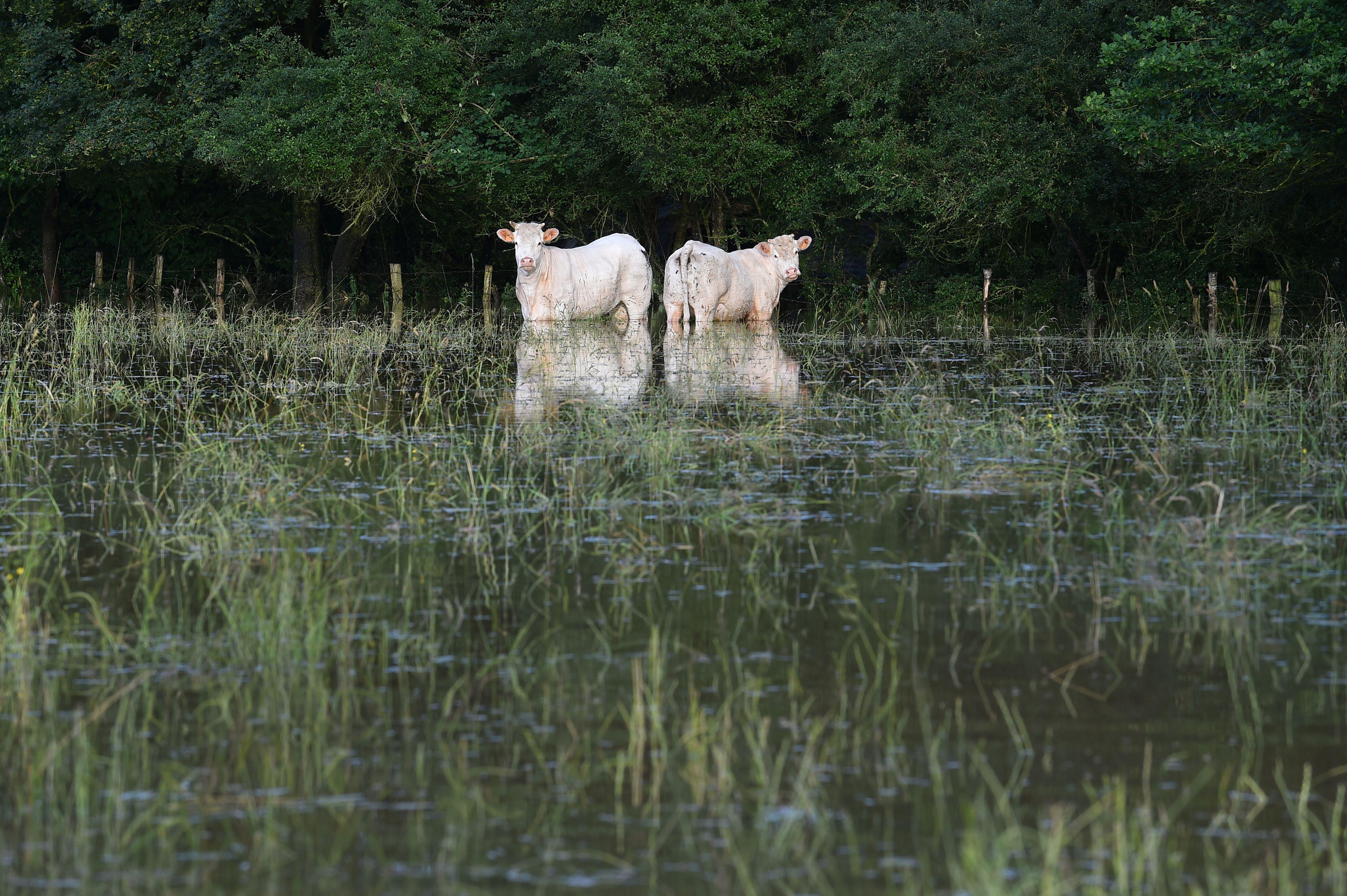 Two cows stand in a flooded medow