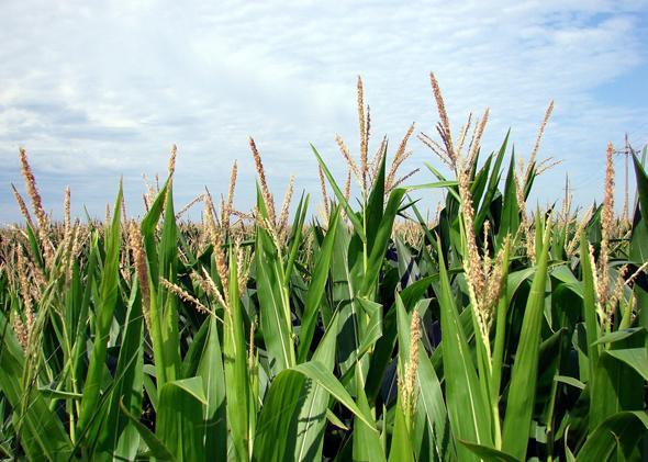 Tasseled out corn crop, northwest Iowa, July 2013.