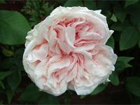 "Rosa ""Climbing Souvenir de la Malmaison""          Click image to expand."