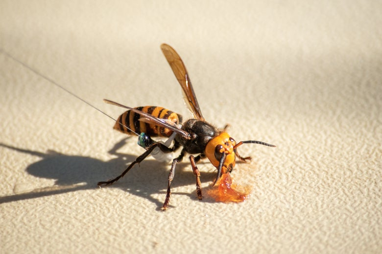 An Asian giant hornet wearing a tracker eats some jam.