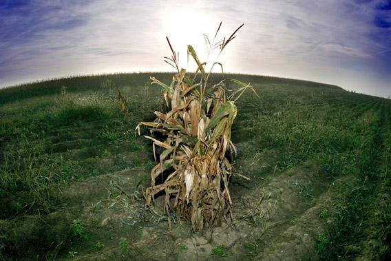 A sheaf of corn remains after the harvest in a field, September 2007 in Innenheim, eastern France.