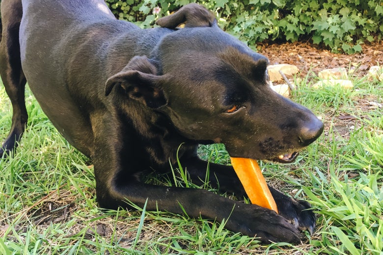 Lab/whippet mixed pup eating a Himalayan Dog Chew