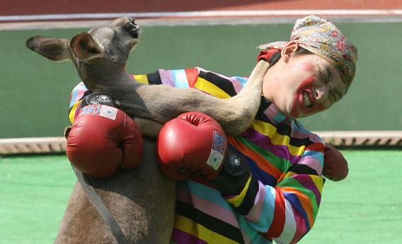 An Australian kangaroo boxes with a man in a clown suit during the 2006 Animal Olympics at the Shanghai Wild Animal Park, 28 September 2006.