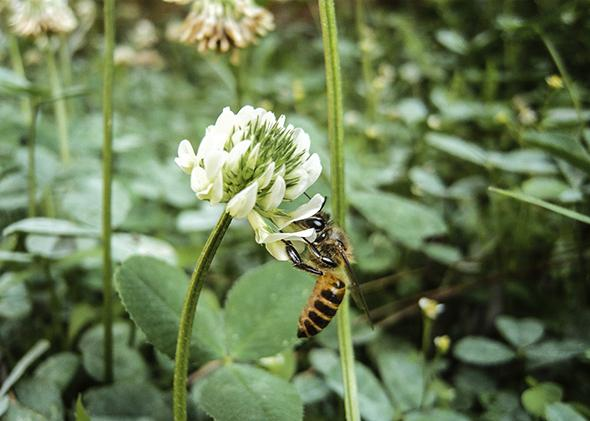 Honeybee on a Clover