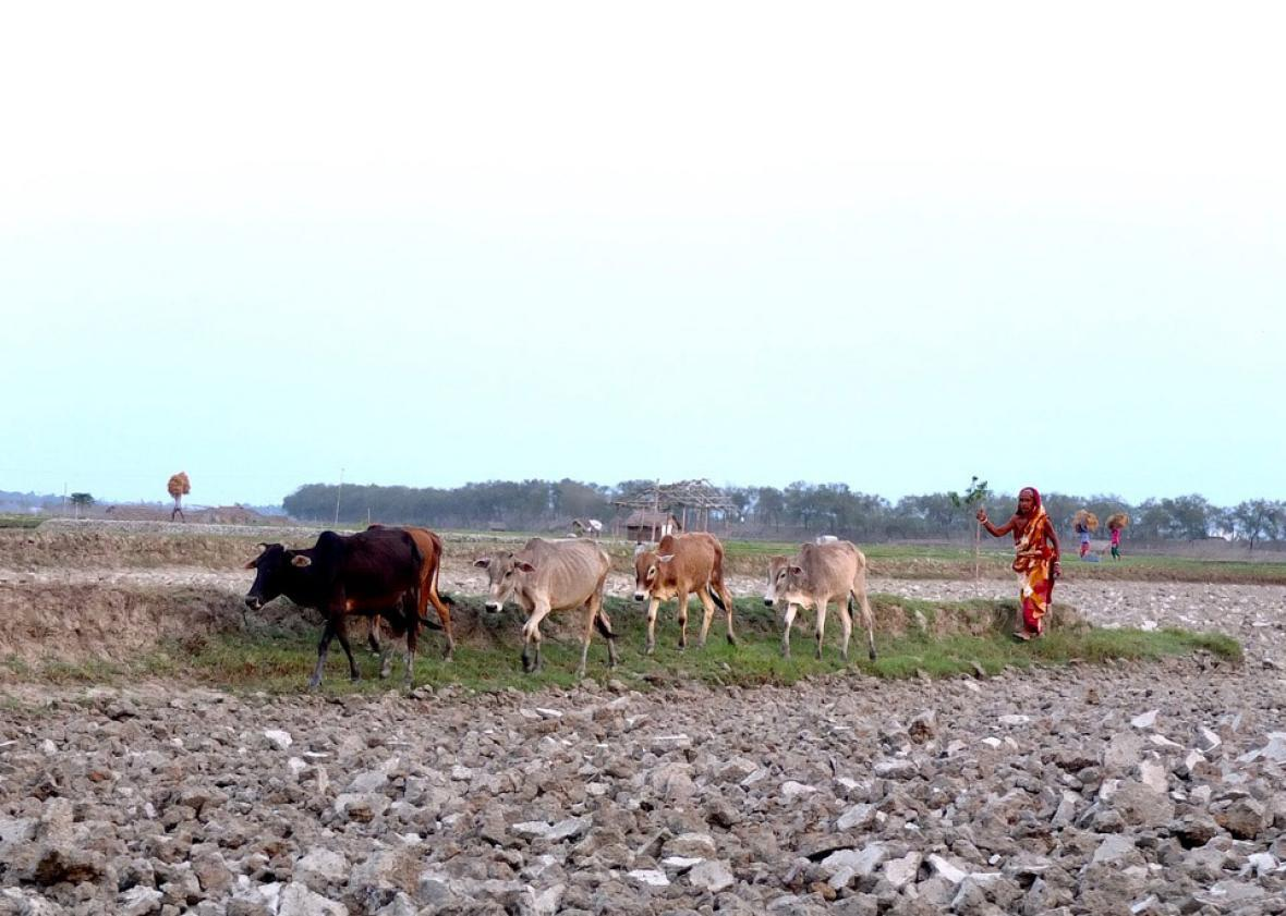 A woman herds her cows Polder