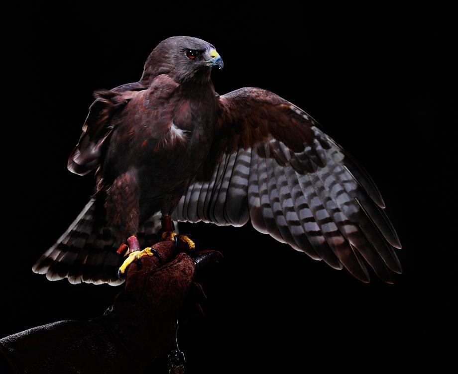 Injured Short-Tailed Hawk