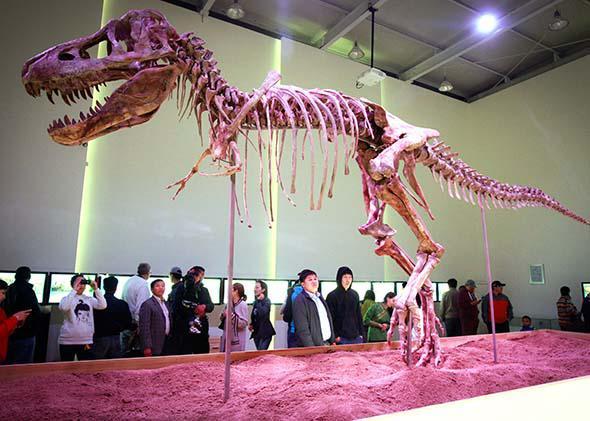 Tyrannosaurus bataar, a 70-million-year-old dinosaur, goes on display in Ulan Bator, June 8, 2013.