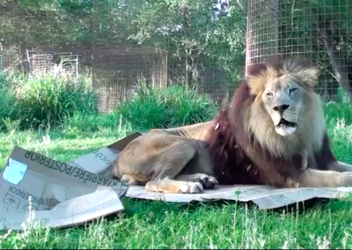 Tigers Lions And Other Big Cats Love Cardboard Boxes As