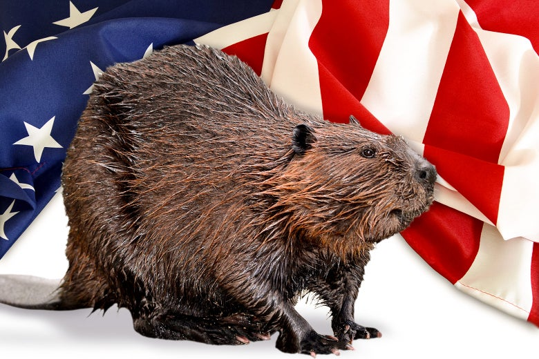 A beaver in front of an American flag.