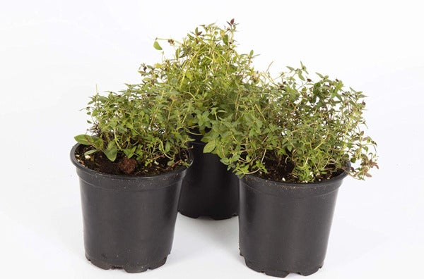 "The Three Company Live Plant Aromatic Herb 4"" Thyme."