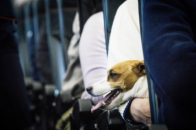 A dog is seen on the lap of its owner on a plane.