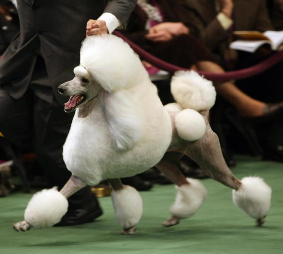 A standard poodle takes a lap at the 132nd Westminster Kennel Club Annual Dog Show at Madison Square Garden