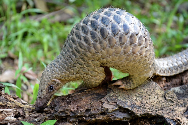 A small pangolin (also known as a scaly anteater).
