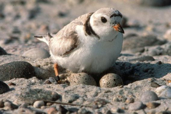Nesting Piping Plover, August 24, 2010.