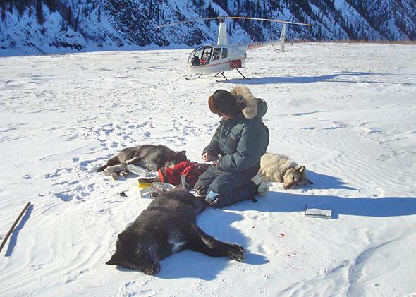 National Park Service biologist John Burch with the Lost Creek wolves