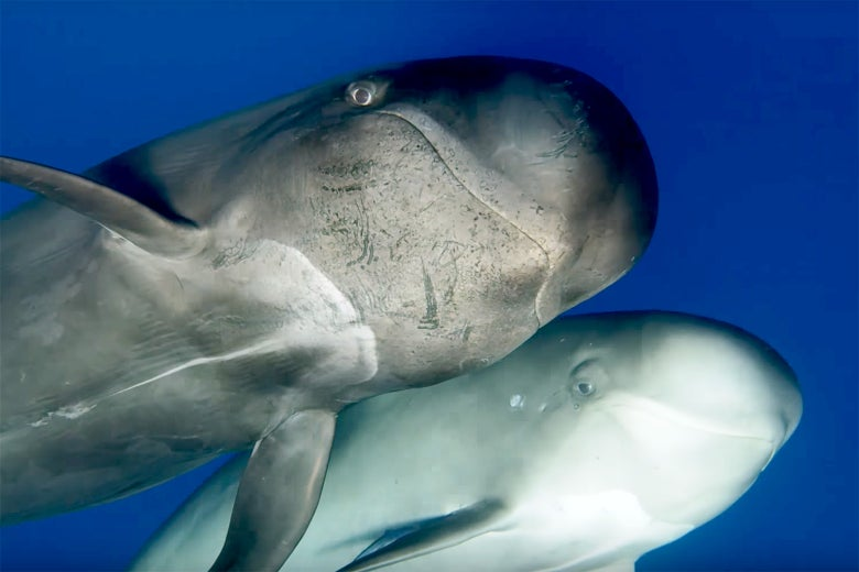 A still of two whales from Blue Planet II.
