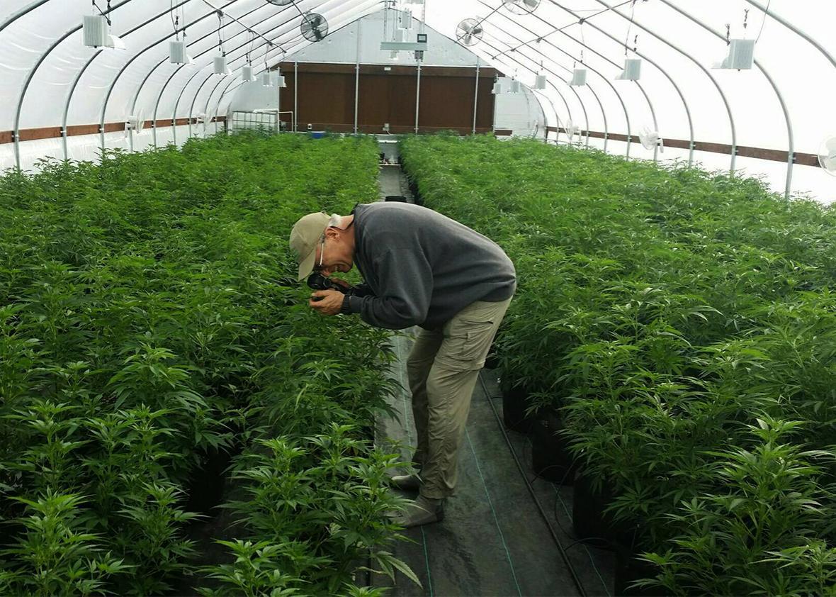 organic weed.