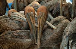 Brown pelicans covered in oil from the Gulf spill. Click image to expand.