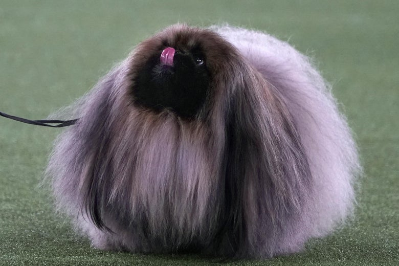 """A Pekenese named """"Wasabi,"""" essentially a spherical ball of fur, sticks its tongue out at the WKC dog show."""