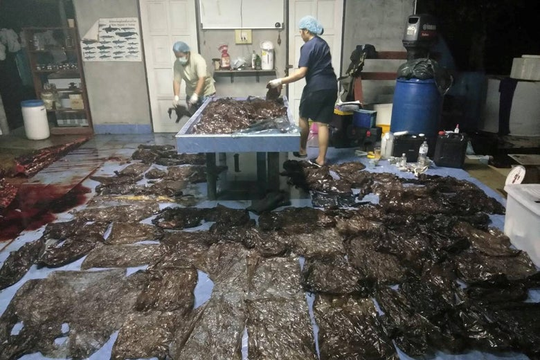 Up to 80 plastic bags extracted from within a whale are seen in Songkhla, Thailand, in this still image from a June 1, 2018 video footage by Thailand's Department of Marine and Coastal Resources.