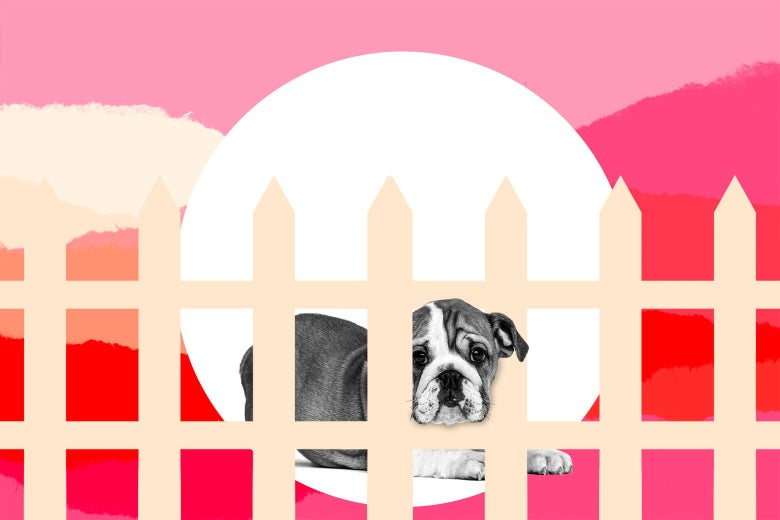 A dog sits behind a picket fence.