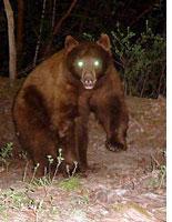 A camera trap surprises a bear. Click image to expand.