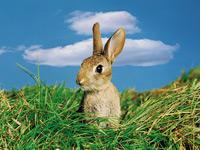 Rabbit. Click image to expand.